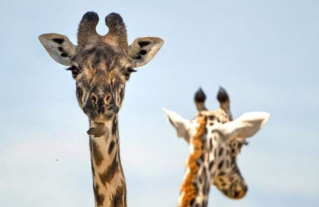 Жираф на приеме у крылатого стоматолога