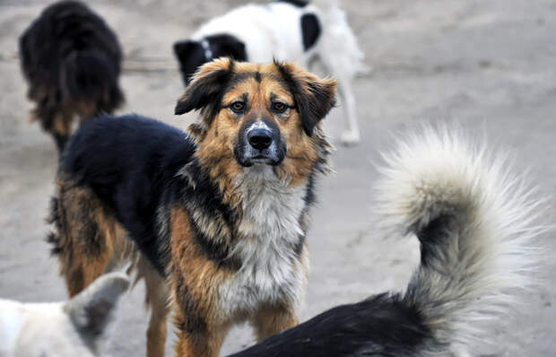 Из Думы отозвали законопроект о праве регионов на усыпление бездомных животных