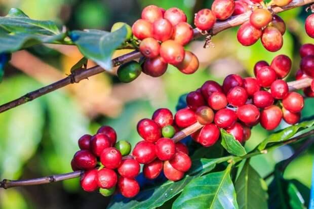 Ветви кофе