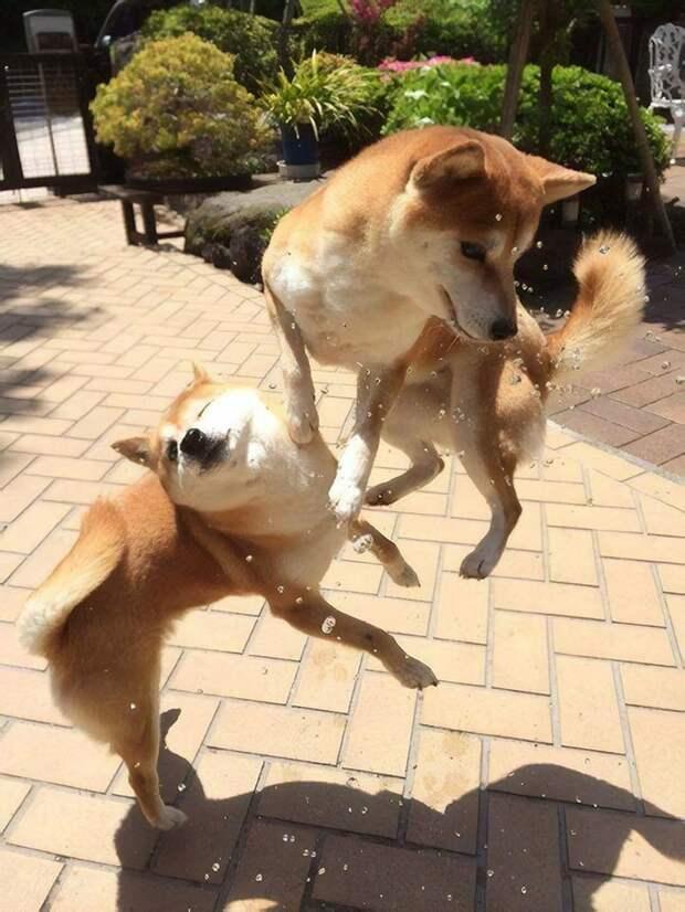 Боевые псы домашние животные, животные, мило, очаровательно, собаки, трогательно, шиба ину, щенки