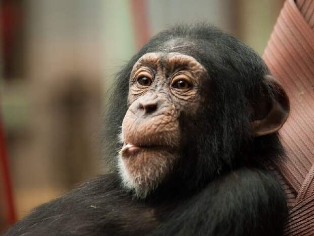 В сердце некоторых шимпанзе имеется небольшая кость