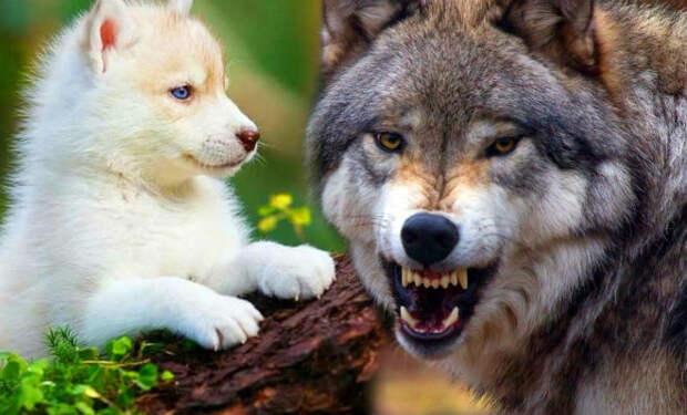 Волк вышел навстречу непрошенным гостям. Год назад пенсионерка взяла волчонка приняв за щенка
