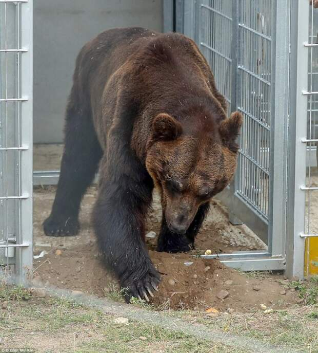 После 17 лет в клетке медведь впервые вышел на землю и купался в пруду