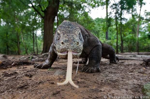 Комодский варан, фото