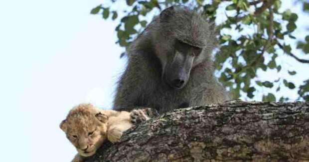 Зачем бабуины крадут маленьких львят