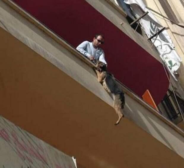Овчарка спасла себе жизнь, выбросившись с балкона животные, овчарка