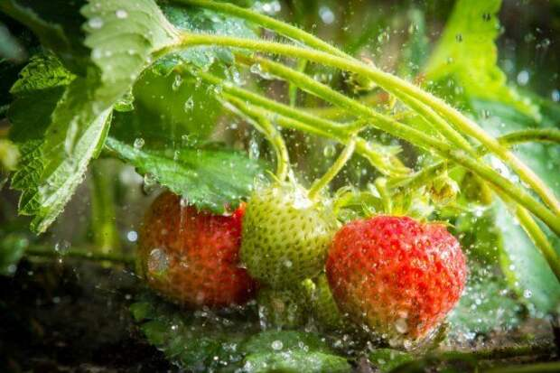 Клубнику опрыскивают по зеленым завязям, затем по первым листьям и при цветении