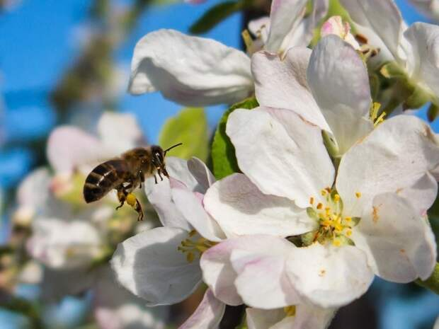 Не будет гречки, яблок и кофе: что произойдет, если на Земле исчезнут пчелы