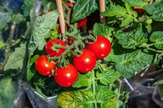 Сорта и гибриды: выбираем на свой вкус