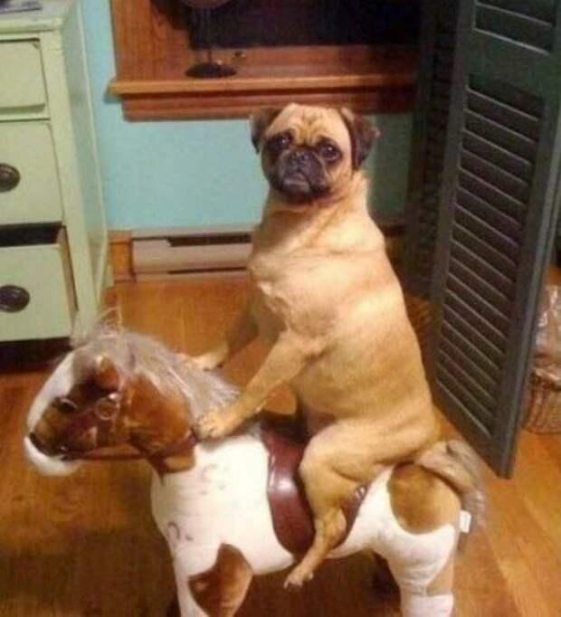 Отправляются на конную прогулку домашний питомец, животные, подборка, прикол, собака, юмор