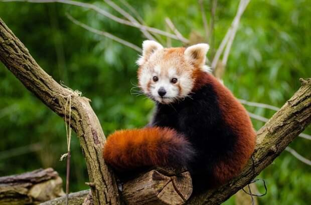 Красные панды накрываются хвостом во время сна.