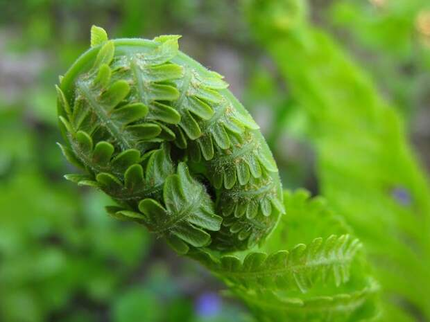 The sequence of fern development starting from the zygote. Fern life cycle:  stages, stages, sequence and description. Life cycle of higher plants