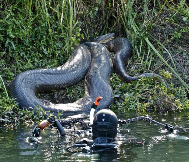 Swiss diver Franco Banfi went to the Mato Grosso region of Brazil to capture these amazing close-up of enormous anaconda snakes in their natural habitat. These underwater beasts feed on rodents, birds and fish, lurking close to surface coiled and ready to strike. PHOTOGRAPH PROVIDED BY IBERPRESS +393358099068 http://www.iber-press.com/ redazione@iber-press.com