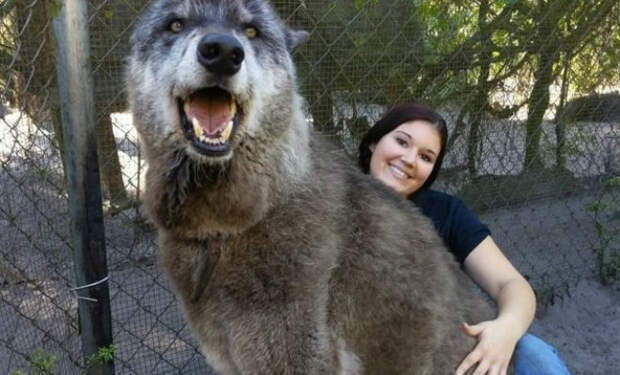 Женщина подобрала маленького волка: он начал расти и не останавливается