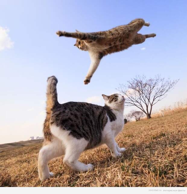 прыжок_кошки