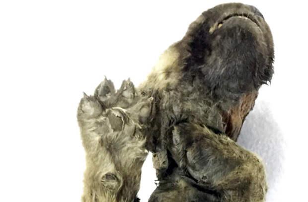 Почти как живой: В вечной мерзлоте нашли собако-волчонка возрастом 18 тысяч лет