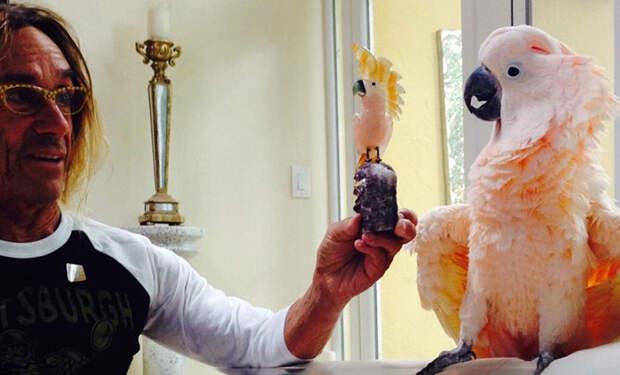 Попугай Игги Попа стал попечителем австралийского госпиталя для животных