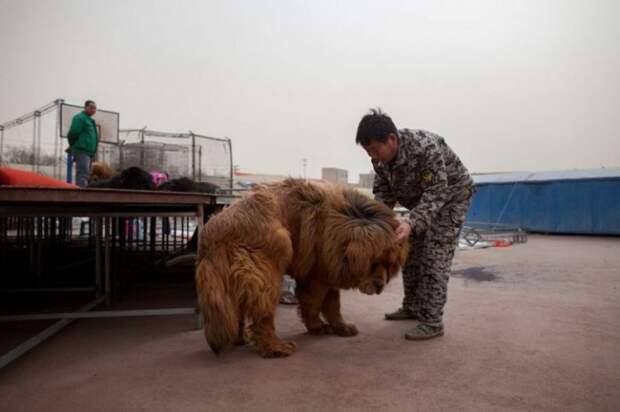1447522698_tibetskiy_mastif_09 (700x466, 51Kb)