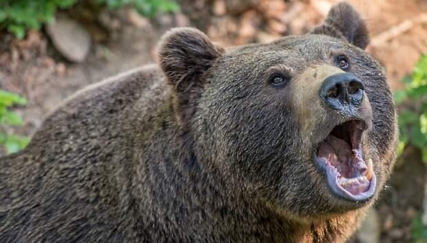 Биолог оценил вероятность пробуждения медведей в Подмосковье из‑за потепления