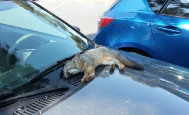 Лисёнок, заснувший на капоте одного из автомобилей на стоянке.