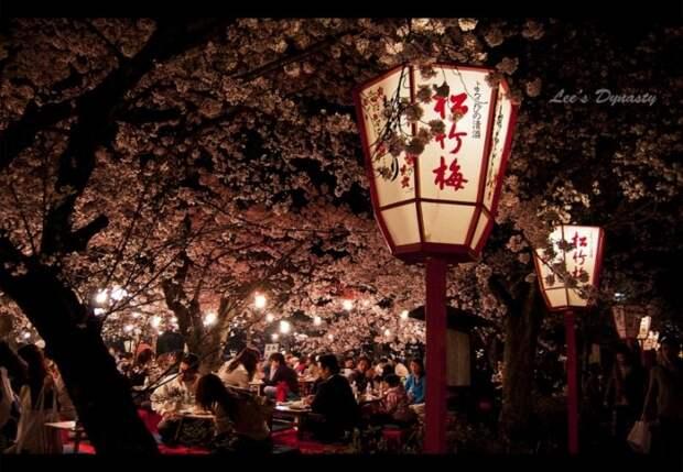 Деревья сакуры в Японии при свете фонарей. Фото