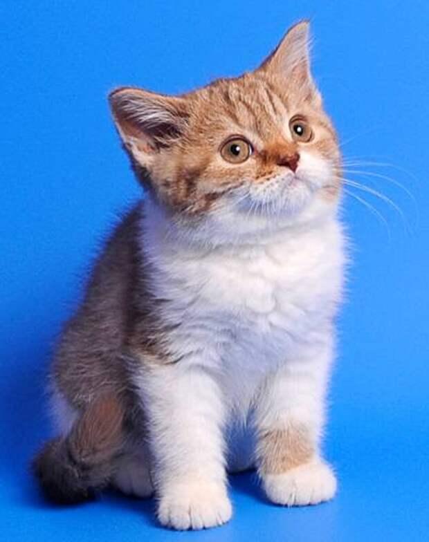 Котенок британской короткошерстной кошки, фото фотография кошки и дети