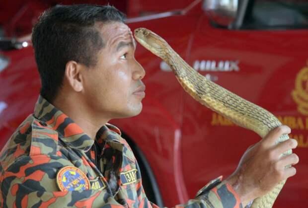 Последний поцелуй: самый знаменитый змеелов погиб от укуса кобры