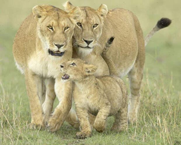 http://www.tepid.ru/images/african-lion-3.jpg
