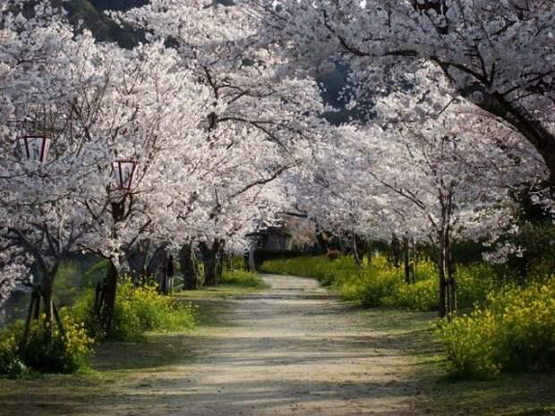 Как красиво весной в вишнёвым саду