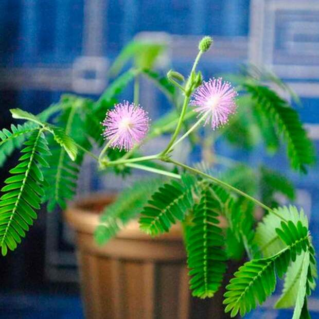 Комнатное растение Мимоза (Mimosa)