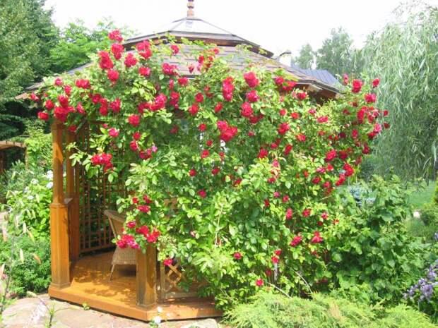 Фото-СергейД-плетистая роза