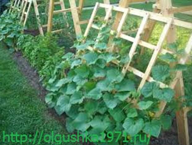 Огурцы, выращивание открытом грунте с рассадой и без
