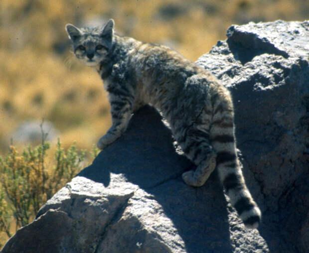 6. Андская горная кошка кошки, природа
