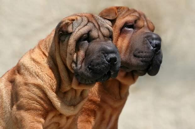 Отличительной особенностью этой древней породы собак из Китая является кожа с глубокими складками и сине-черный язык. /Фото: vashipitomcy.ru