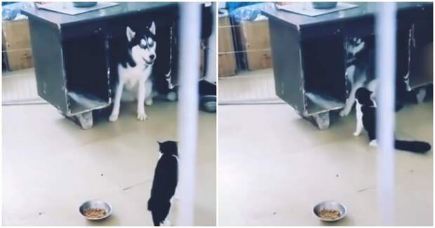 Котик воспитывает хаски с помощью тумаков видео, драка, животные, кот, лай, позитив, разборки, хаски, юмор