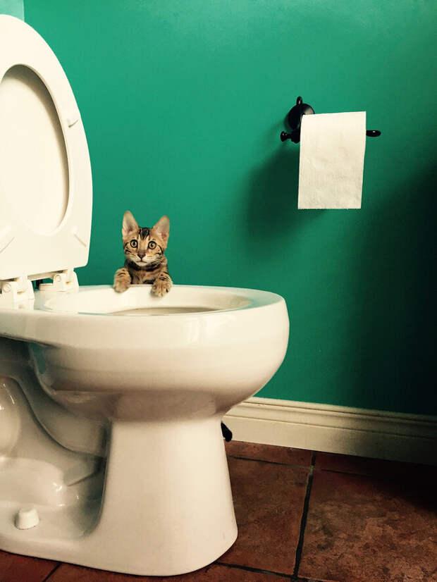 Насколько сложно приучить кота ходить на унитаз