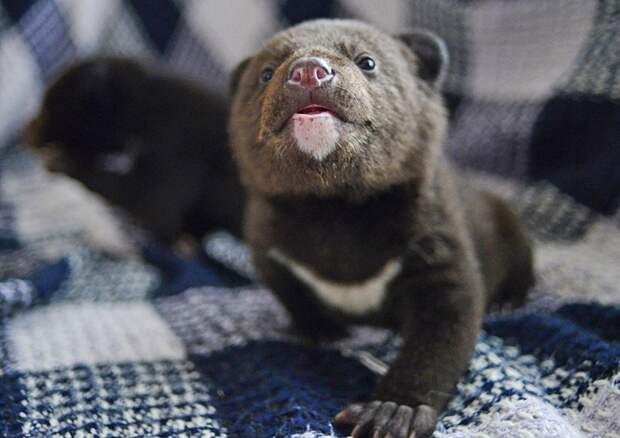Зоозащитники Хабаровска выхаживают двух гималайских медвежат