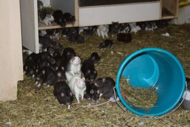 Любитель животных делил двухкомнатную квартиру с тремя сотнями крыс в квартире, животные, крысы