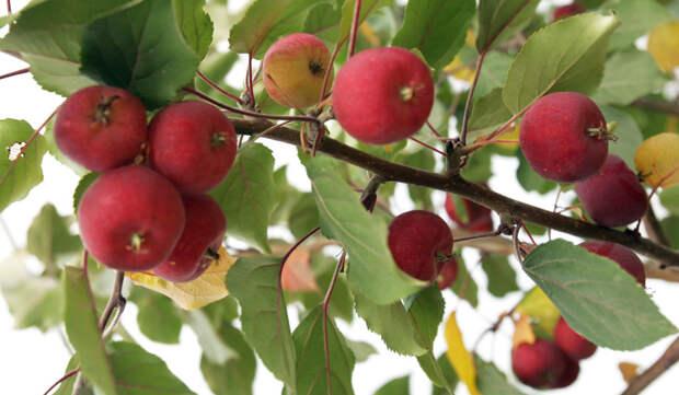 Яблоки ранетки: 5 причин, чтобы их посадить
