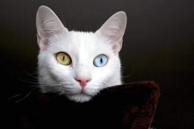 Кхао-мани, као-мани, фото породы кошек фотография картинка
