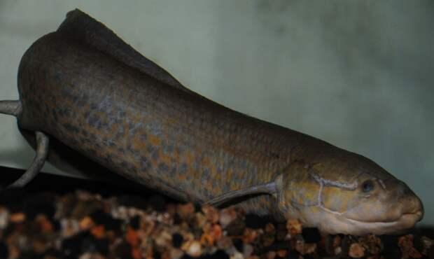 Ученые раскрыли секрет «покорения» суши рыбами после изучения массивного генома двоякодышащих рыб