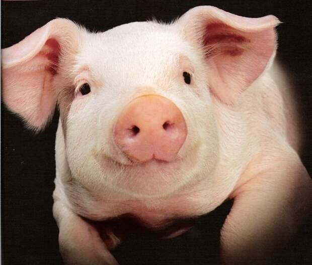 Китайские хирурги пересадили пациенту часть глаза свиньи