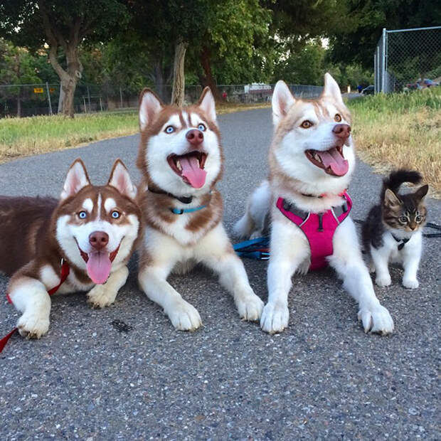 3 хаски подружились с котенком