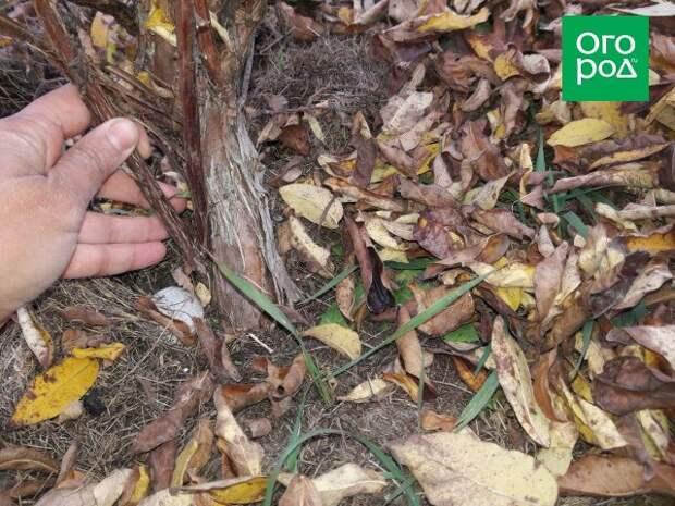 Осенняя обрезка жимолости