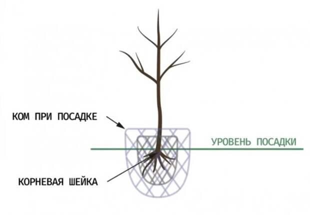 Правил посадки деревьев от опытного садовника