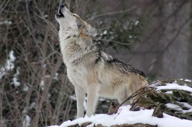 Курганского депутата исключили из ЕР после жестокого обращения с волком