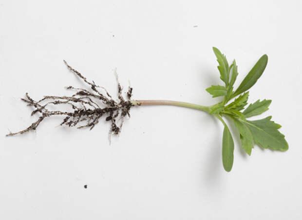 бархатцы, выращивание рассады, сеянец в стадии двух настоящих листочков готов к пикировке