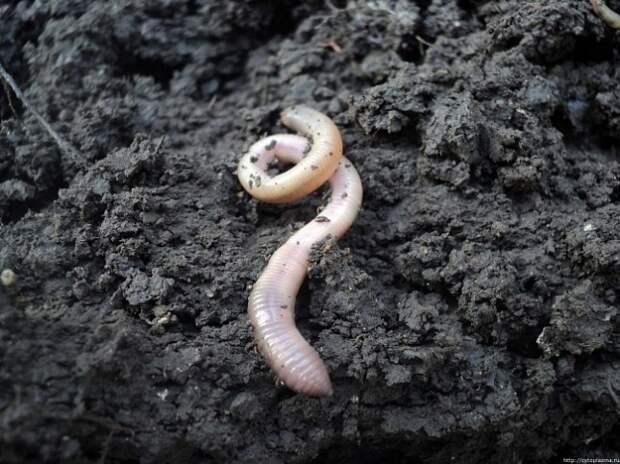 Где раздобыть белого червя?