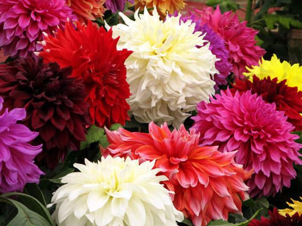 Обои Георгины Цветы Фото 307748