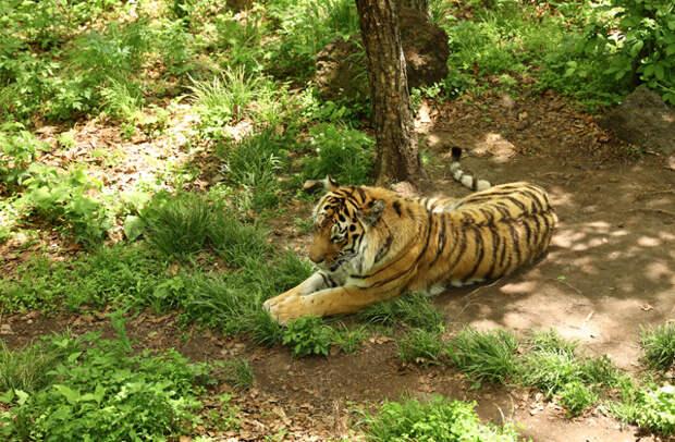 Приморский сафари-парк, тот самый тигр Амур